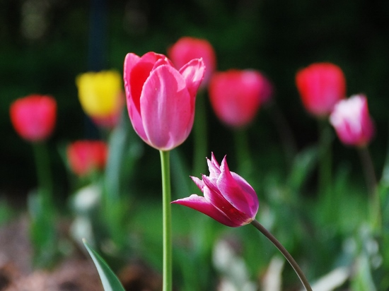 Definitely tulips ;)
