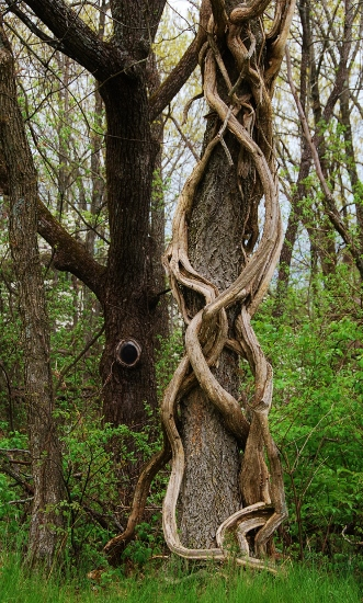 Twisty vines on a tree (in Babler State Park)