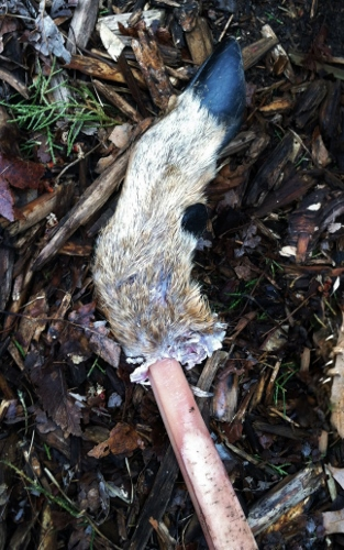 The dogs dragged up another deer leg from the woods. Third one! I wonder if it is from the same deer?