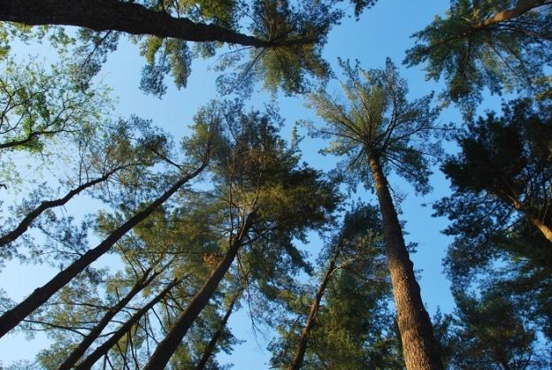 Big pine trees