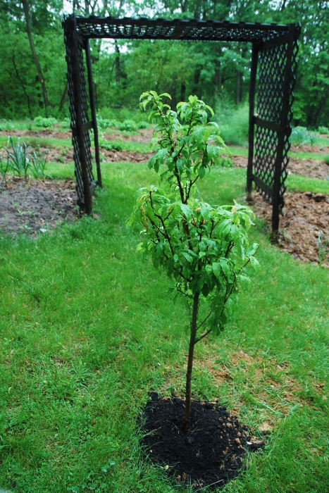 New Plum Tree! (A Mother's Day gift)