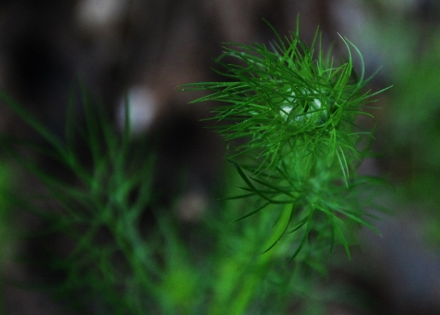Love-in-a-mist flower bud