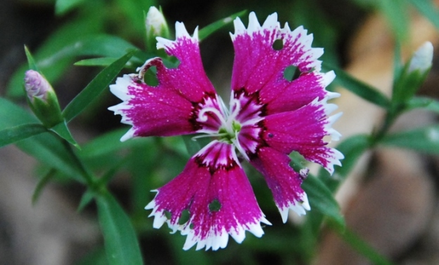 I like the tattered look of this dianthus bloom, with three fresh buds poking out right behind it.