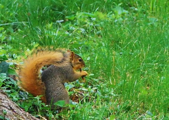 Orange Squirrel!