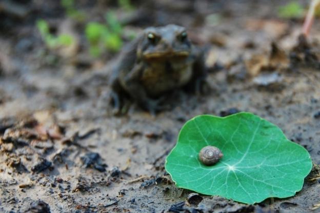 Toad, Snail, Nasturtium Leaf Still Life