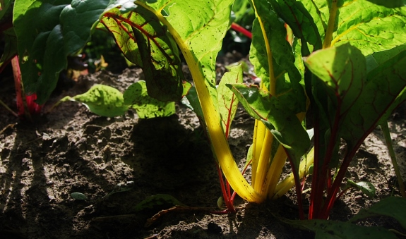 Rainbow swiss chard, this yellow one looks like its plugged in and lit up!