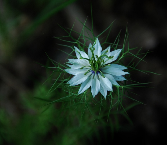 Love-in-a-Mist Bloom