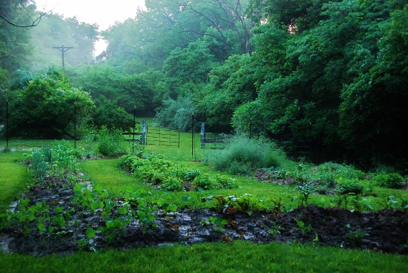 Garden in the mist. Lots of rain this week: great for the garden!