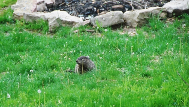 Woodchuck hanging by the fire pit
