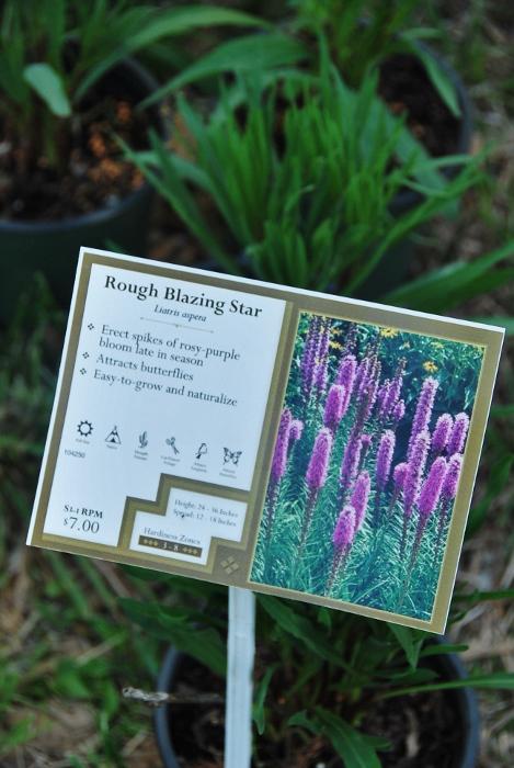 Rough Blazing Star plants.