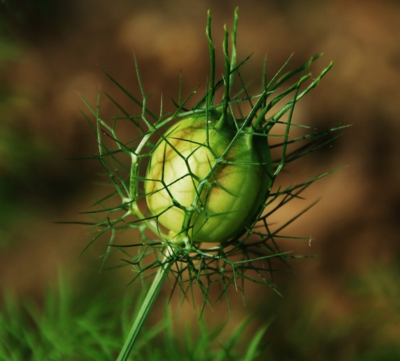 Love-in-a-Mist Seed Pod