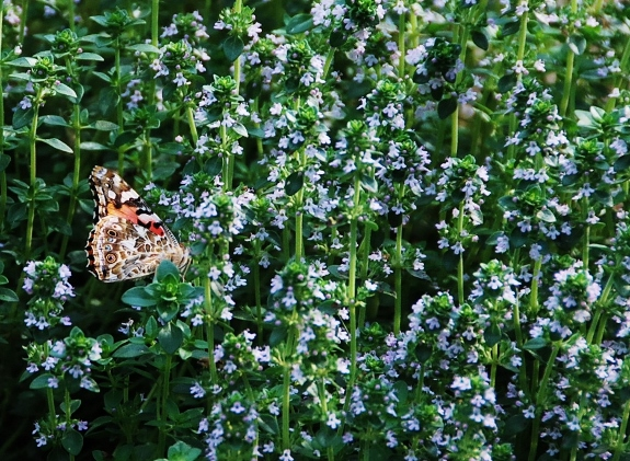 Butterfly and Thyme