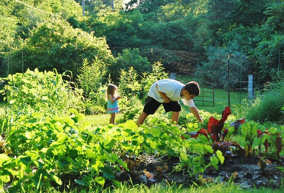 Picking yellow strawberries