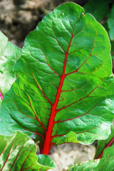 Electrified veins of Swiss chard
