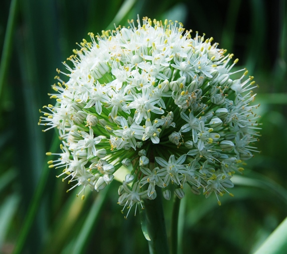 Like white allium