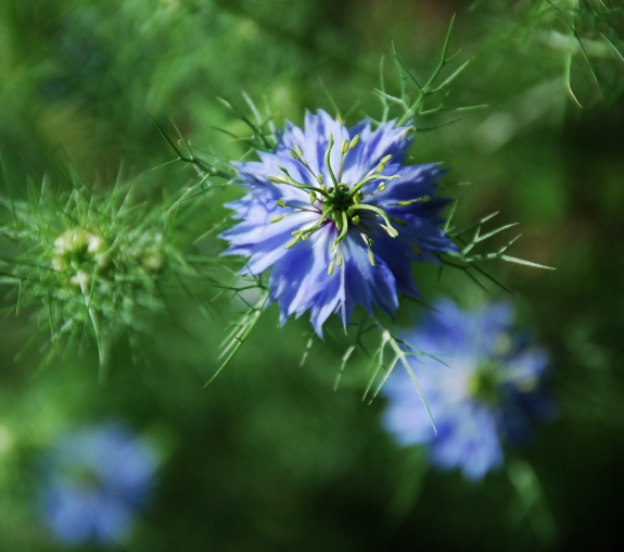 Love in a mist blooms