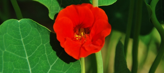 Super saturated nasturtium