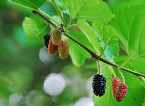 Mulberries, MMMmm (they taste like blackberries)