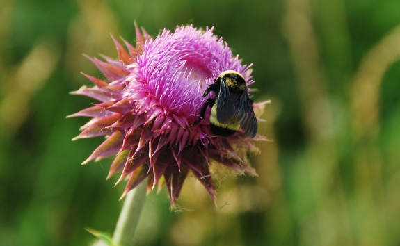Bee on Thistle
