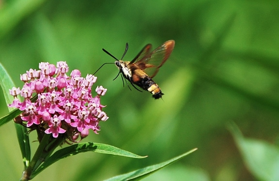 A bee? A hummingbird? A moth!