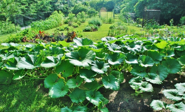 Atlantic Giant Pumpkin Patch and the garden in the background (facing west)