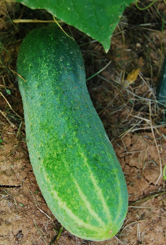 The first cucumber (Delikatesse)!