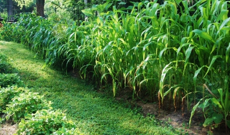 "There's a saying about corn: ""Knee high by the fourth of July."" Ours is between 4-10 feet tall!"