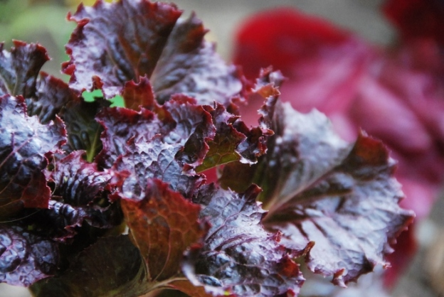 Red romaine, and Swiss chard in the background