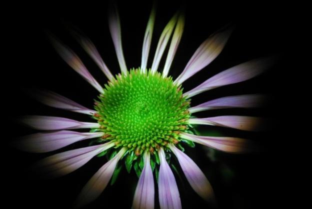 Coneflower (Echinacea)