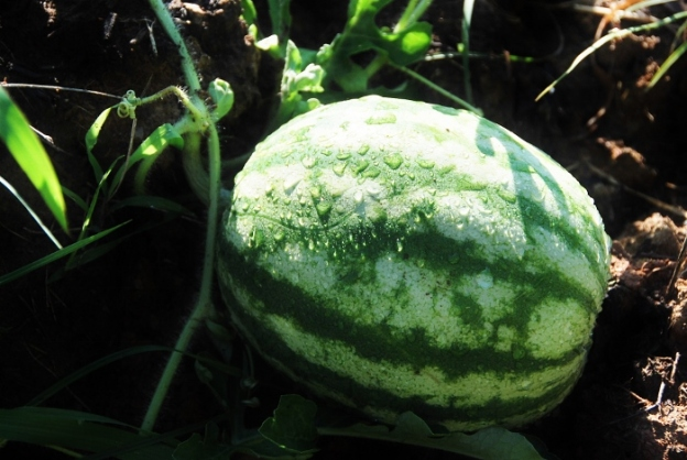 A watermelon in Squirrely Garden