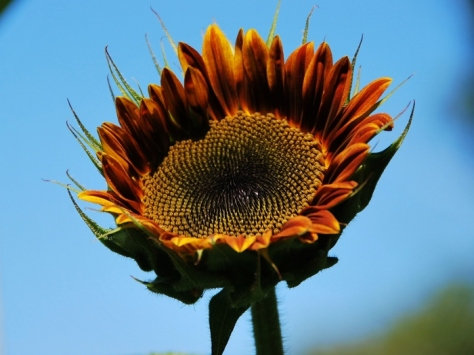 Another variety of sunflower (called Autumn-something or another)