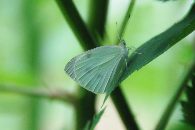 A white butterfly (or moth?)