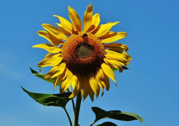 """Titan"" Sunflower"