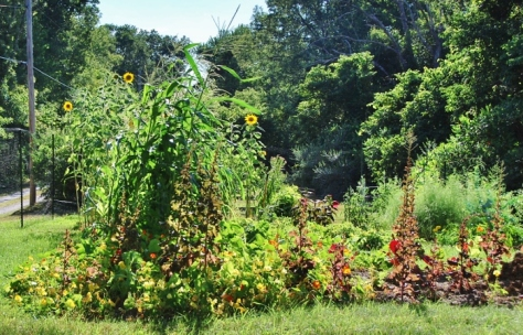"From left: Corn/Sunflowers, ""Sunset"" Lettuce going to seed,"