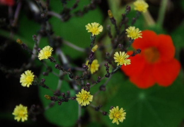 Yellow Blooms on Red Romaine seed heads (and nasturtium in the background)