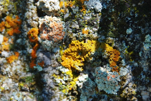 Yellow Mosses/Lichen