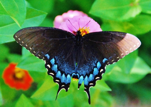 Blue Swallowtail (on zinnias)