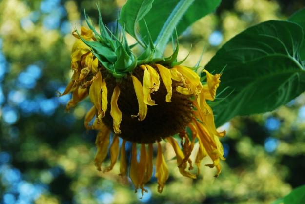 """Falling"" Sunflower"
