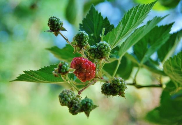 Blackberries Blushing