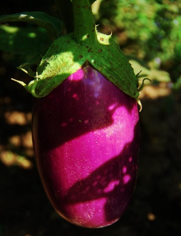 """Rosita"" Eggplant"