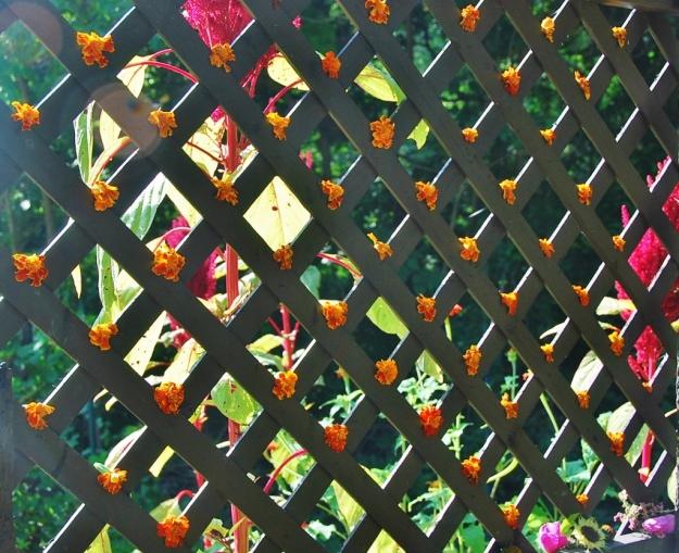 Marigolds Decorating the Trellis