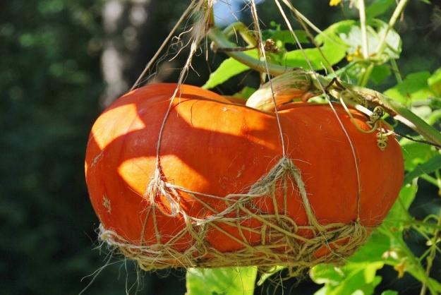 Hanging Rouge Vif d'Etampes Pumpkin