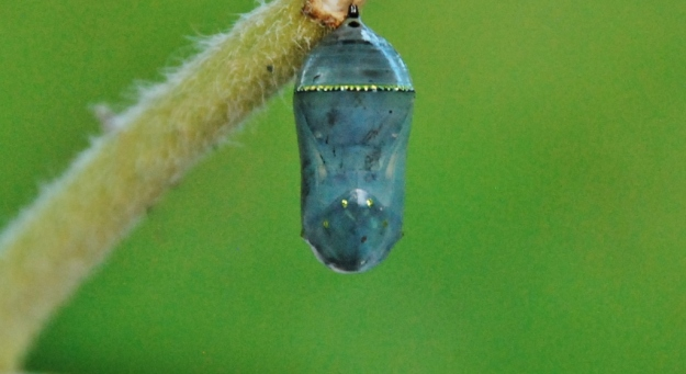 The photographer said she had never seen a chrysalis like this before (I'd love to see the photo she took of it!)