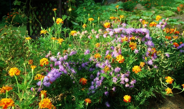 Blazing Star wildflowers and marigolds