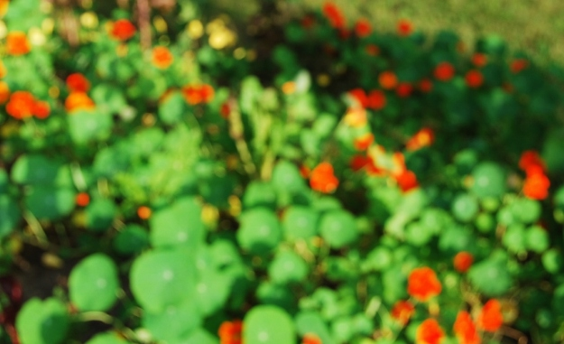 (Purposely) blurry shot of the nasturtiums looking very painterly