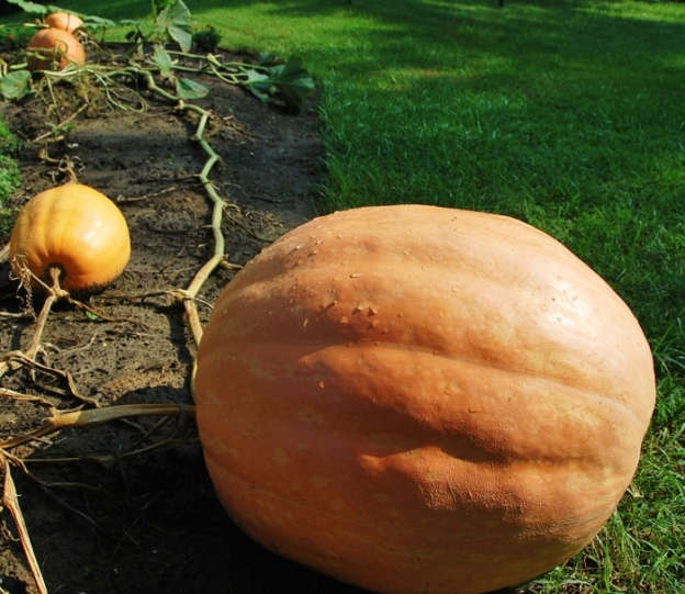 ...Giant Pumpkins