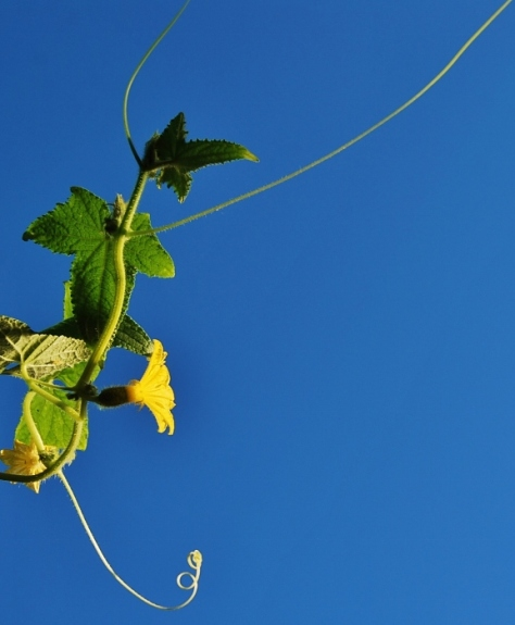 Lemon Cucumber Stretching to the Sky (on the top of the trellis)