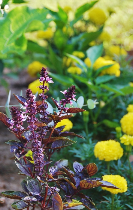 Purple Opal Basil, Yellow Marigolds and Peppers