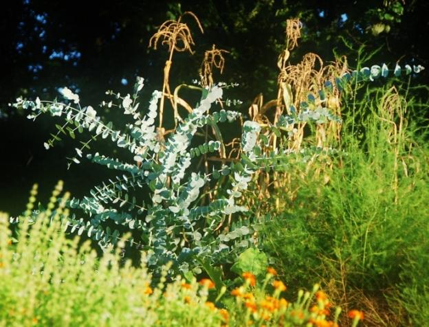Eucalyptus, Asparagus, Lime Basil, Marigolds and Corn