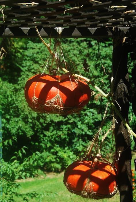 Perhaps the last shot of the hanging Rouge Vif d'Etampes...